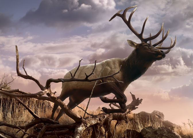 A majestic elk leaps gracefully down a rugged hillside in the warm evening sunlight