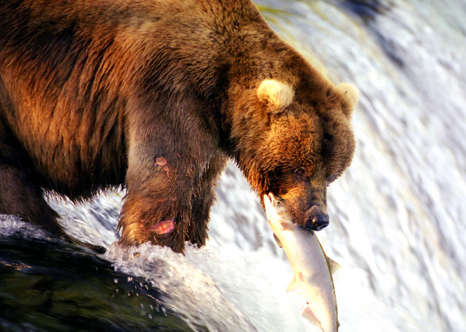Grizzly bear catching salmon
