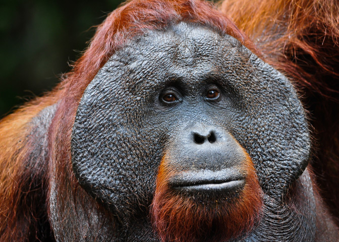A dominant male orangutan with developed cheekpads signifying his dominant status