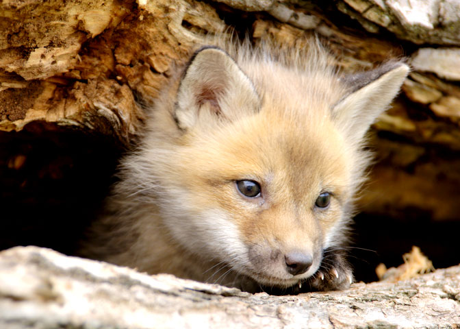 A red fox pup peers from a log hole