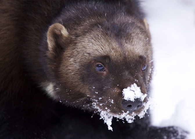 Angry wolverine in deep snow