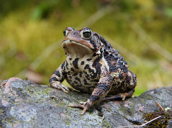 American toad (Bufo americanus) - photo by Cephas