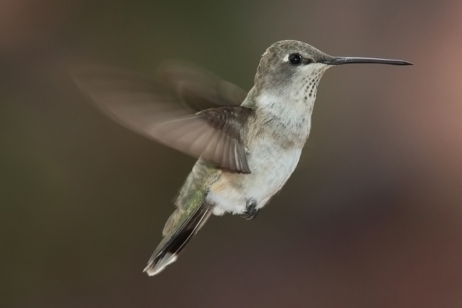 Black-Chinned Hummingbird (Archilochus Alexandri) - photo by Mdf