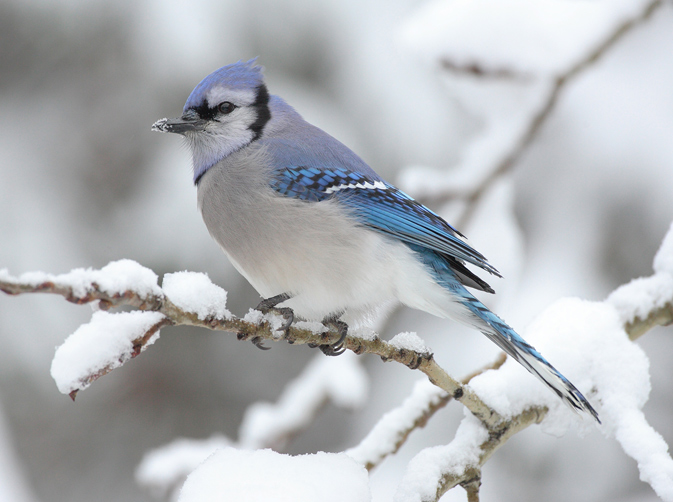 Blue jay (Cyanocitta cristata) - photo by Mdf