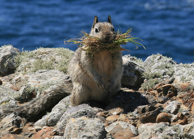 California ground squirrel (Otospermophilus beecheyi) - photo by Brocken Inaglory