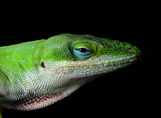 Carolina anole (Anolis carolinensis) - photo by PiccoloNamek