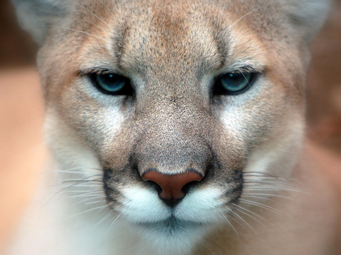 Close-up of Puma - taken at the Philadelphia Zoo by Art.G
