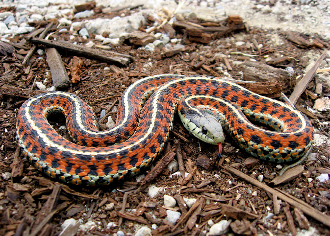 Gartersnake (Thamnophis sirtalis) - photo by Steve Jurvetson