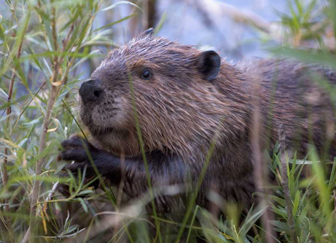 North American Beaver (Castor Canadensis) - photo by Cszmurl