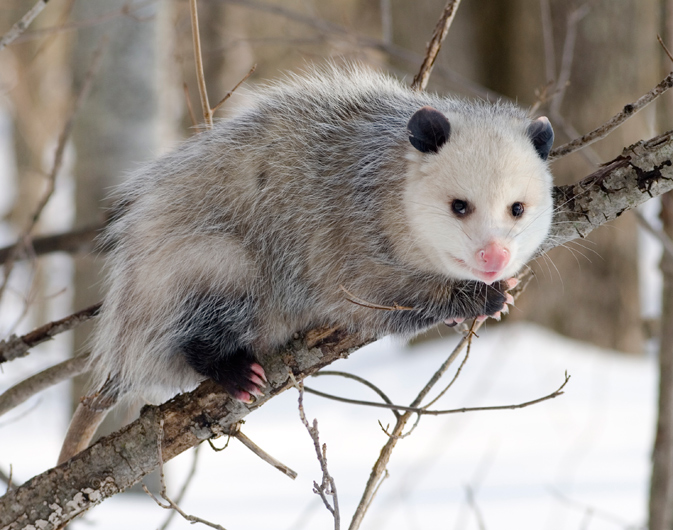 Opossum (Didelphimorphia) - photo by Cody Pope