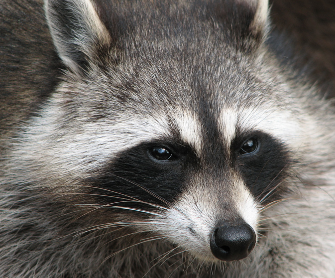 Raccoon (Procyon lotor) - photo by Darkone